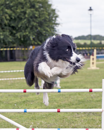 Dog agility display